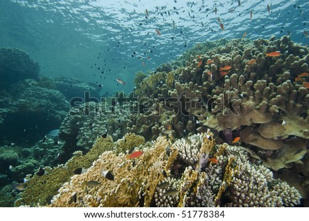 Reefscape in the shallows, showing various species of hard coral. Jackfish alley, Red Sea, Egypt.