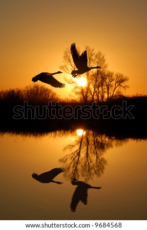 Reflected Riparian Tree and Canadian Geese in Golden Sunset - stock photo