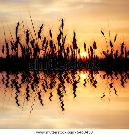 reflected wheat - stock photo
