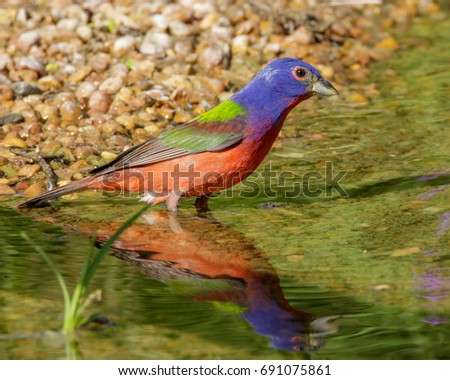 Reflecting Painted Bunting in South Texas