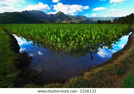 Reflection in Taro fields on Kauai Hawaii. More with keyword Series001B. - stock photo