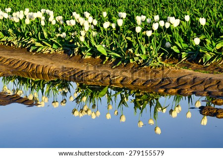 Reflection of a tulip row in Skagit Valley, Washington state, US. Early spring is the blossom time for tulips here. - stock photo