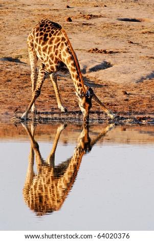Reflection of Giraffe (Giraffa cameloparadalis) drinking at Nyamandlovu Pan, Hwange, Zimbabwe - stock photo