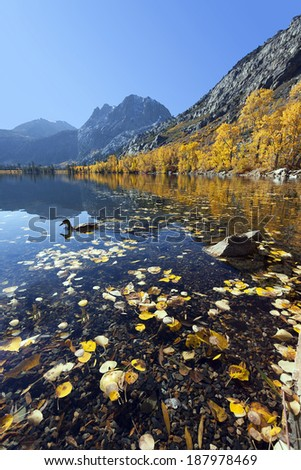 Reflection of Mountains and aspens, focus on duck swimming in foreground, Silver Lake, Eastern Sierra Nevada, California