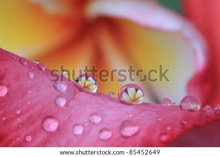 reflection of the flowers; plumeria spp. in raindrops - stock photo