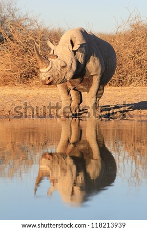 Reflection of the rare and endangered Black Rhino.  Photo taken on a game ranch in Namibia, Africa. - stock photo