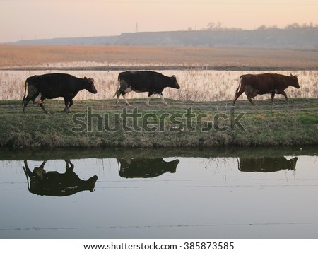 Reflection of three cows in the river walking at sunset from pastures - stock photo