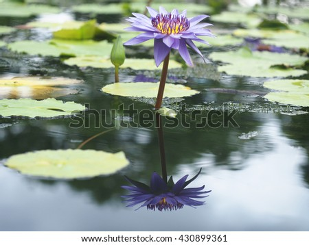 reflection of water lily flowers on pond outdoor garden - stock photo