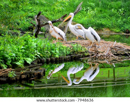Reflection pelicans - stock photo