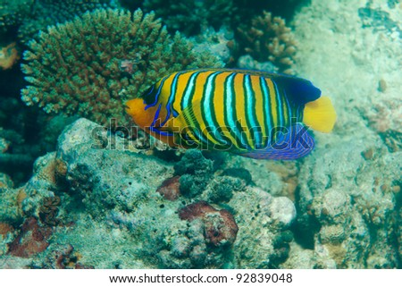Regal angel fish swimming among corals