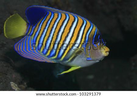 Regal angelfish in tropical waters - stock photo