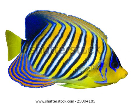 Regal Angelfish isolated on white - stock photo