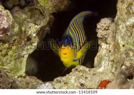 regal angelfish (pygoplites diacanthus) - stock photo