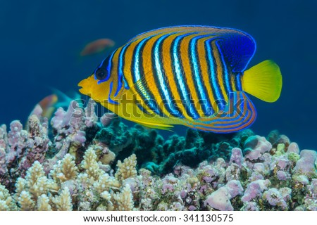 Regal angelfish {Pygopllites diacanthus} in profile against a coral reef background. Red Sea, Egypt. June