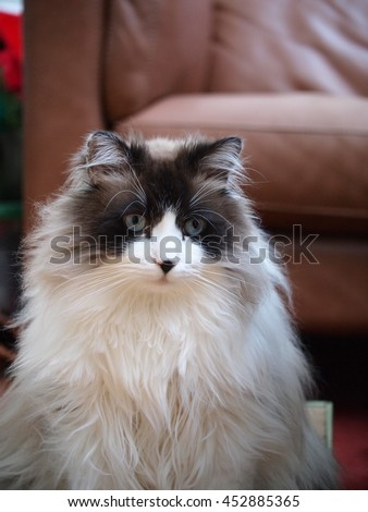 Regal Long Haired Bi Color Brown White Ragdoll Cat with Blue Eyes and Black Button Nose  - stock photo