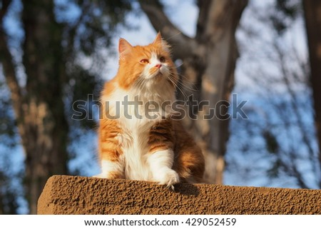 Regal Orange Bi Color Long Haired Doll Face Traditional Persian Cat Sitting on Ledge with Trees in Background - stock photo