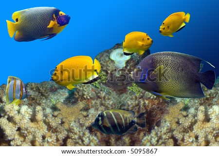Regal Spotted Angelfish (Pomacanthus xanthometapon), Beaked Coralfish (Chelmon rostratus), Three-spot Angelfish (Apolemichthys trimaculatus) swimming over coral reef. - stock photo