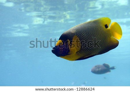 Regal Spotted Angelfish (Pomacanthus xanthometapon) swimming over coral reef.