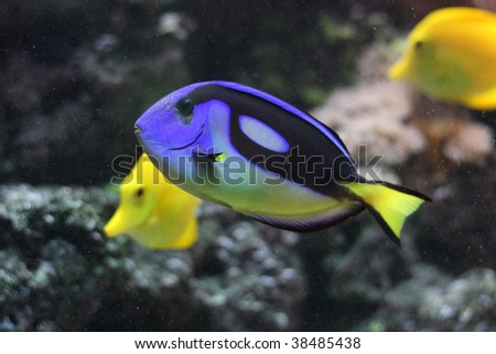 Regal Tang (Paracanthus hepatus) also known as Palette Surgeonfish