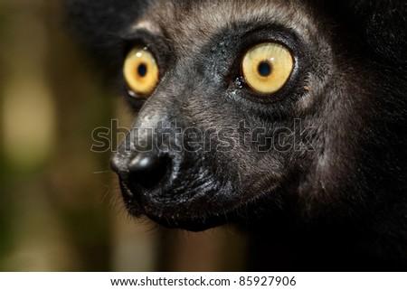 Regard jaune du lémurien Indri indri ou Babakoto, Madagascar - stock photo