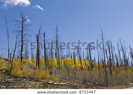 Regeneration of forest that was burned by the Warm Fire in 2006. - stock photo