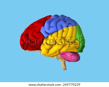 Regions of the brain: Side view featuring frontal lobe (red), parietal lobe (blue), occipital lobe (green), temporal lobe (yellow), cerebellum (pink) and brain stem.  - stock photo