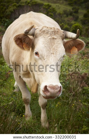 Registered cow on the countryside in Flores island. Azores, Portugal. Vertical