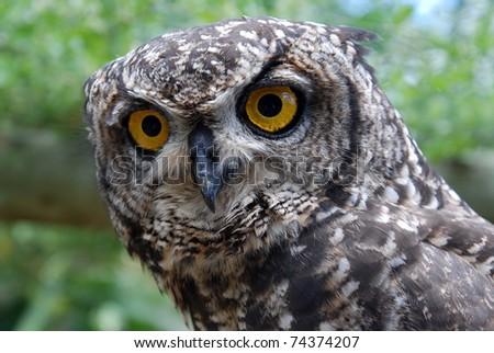 Rehabilitating Eagle Owl at the Raptopr rehabilation centre near Addo, South Africa - stock photo