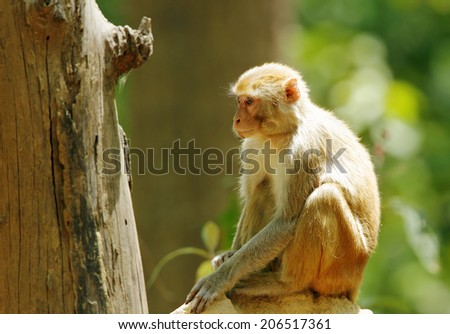 Rehsus Macaque sitting on anthill