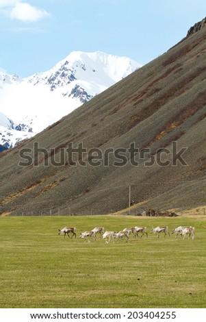 Reindeer - stock photo