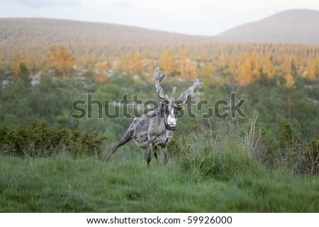 Reindeer and landscape in Pallas-Hetta mountain region in Lapland, Northern Finland. - stock photo