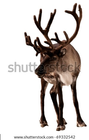 Reindeer caribou isolated - stock photo
