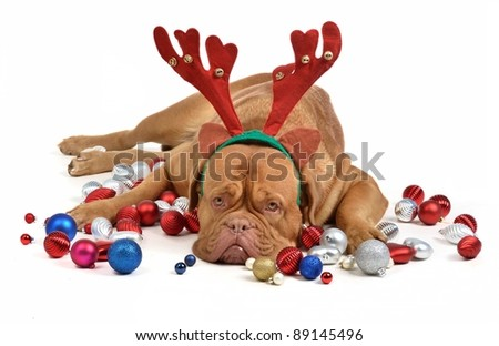 Reindeer dog with Christmas baubles isolated