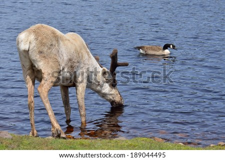 Reindeer drinking from a lake, a Canada goose swimming nearby. - stock photo