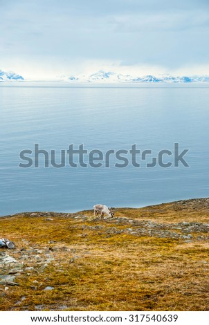 Reindeer eating grass in arctic tundra in summer, Svalbard, Norway - stock photo