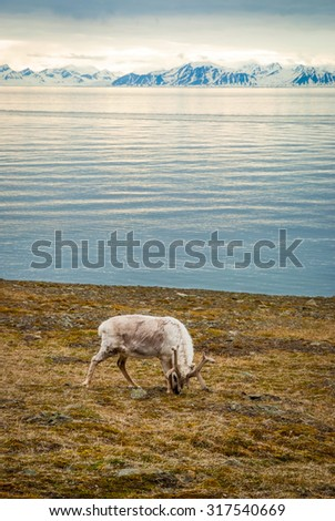 Reindeer eating grass in front of the sea and mountains in slow in Svalbard, Arctic - stock photo