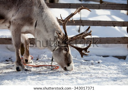 Reindeer eating in Finnish lapland  - stock photo