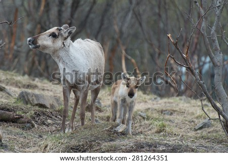 reindeer female and calf [Rangifer tarandus]