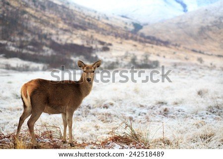 Reindeer, female doe - stock photo