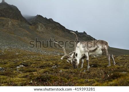 Reindeer grazing in Svalbard - stock photo