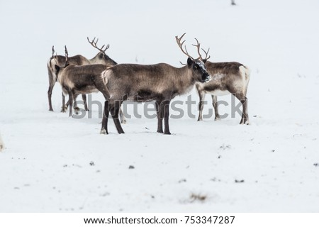 Reindeer herd, in winter, Lapland, Northern Finland - space for text