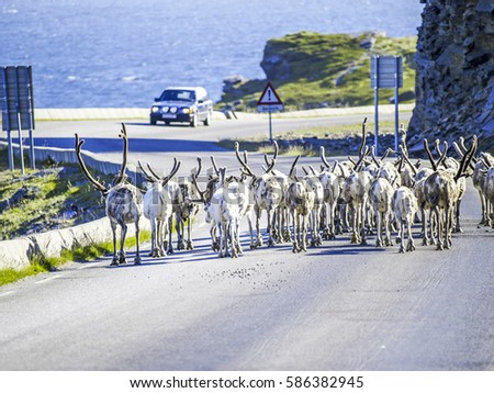 Reindeer herd on the street, Norway, Finnmark