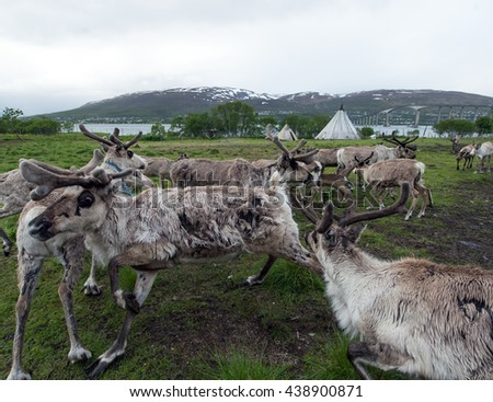reindeer in its natural environment in scandinavia ,Tromso - stock photo