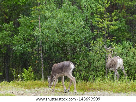 reindeer in its natural environment on north of scandinavia - stock photo