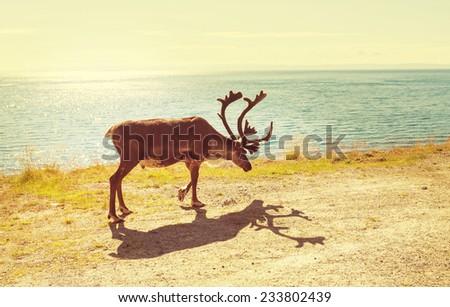 reindeer in Norway - stock photo