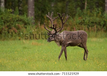 REINDEER IN TAIGA FOREST