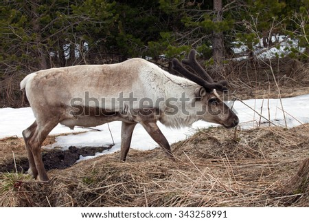 Reindeer in the paddock on the farm