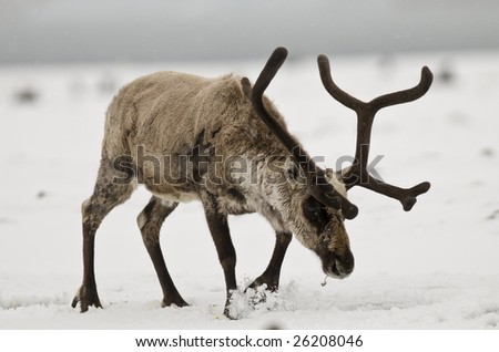 Reindeer in the snow - South Georgia - stock photo