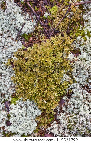 Reindeer moss is growing on the ground - stock photo