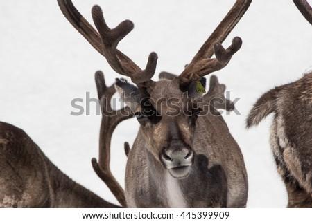 Reindeer, Norway - stock photo